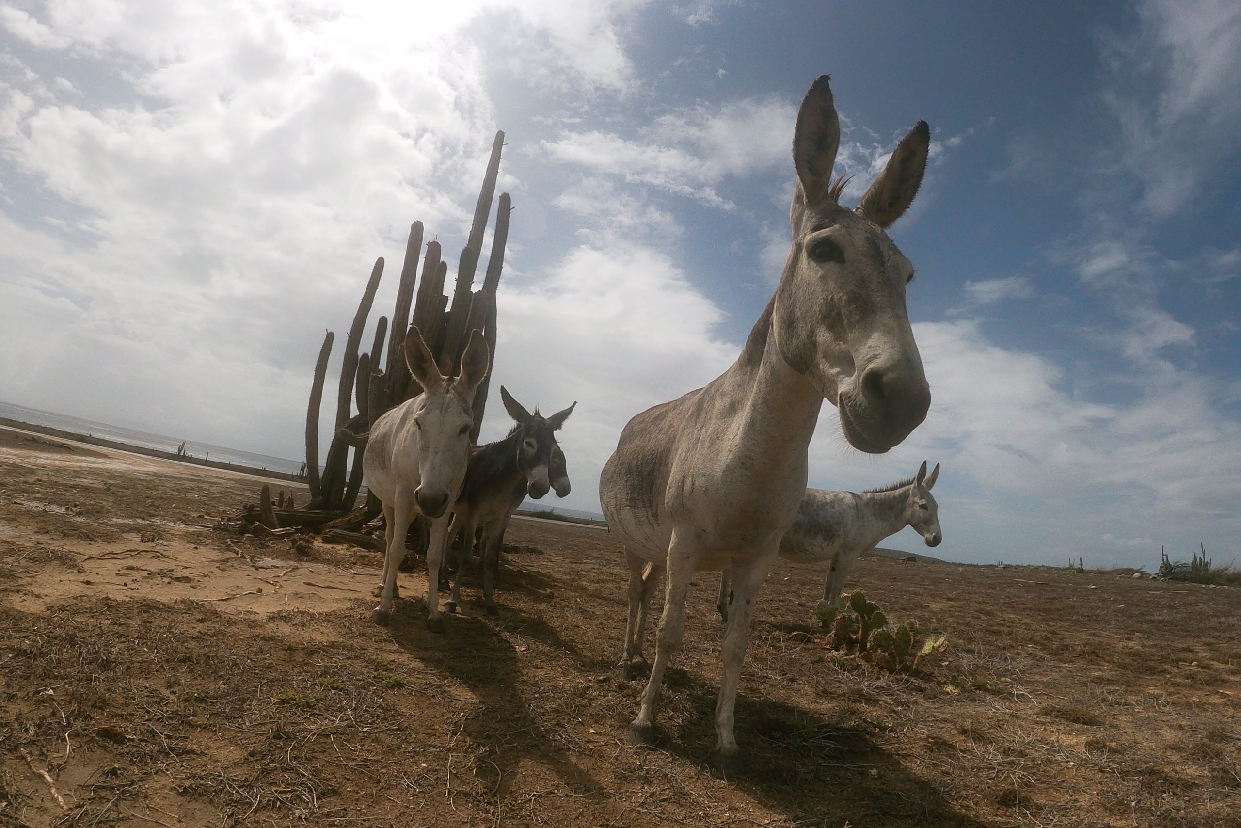 Donkeys near Baby Beach