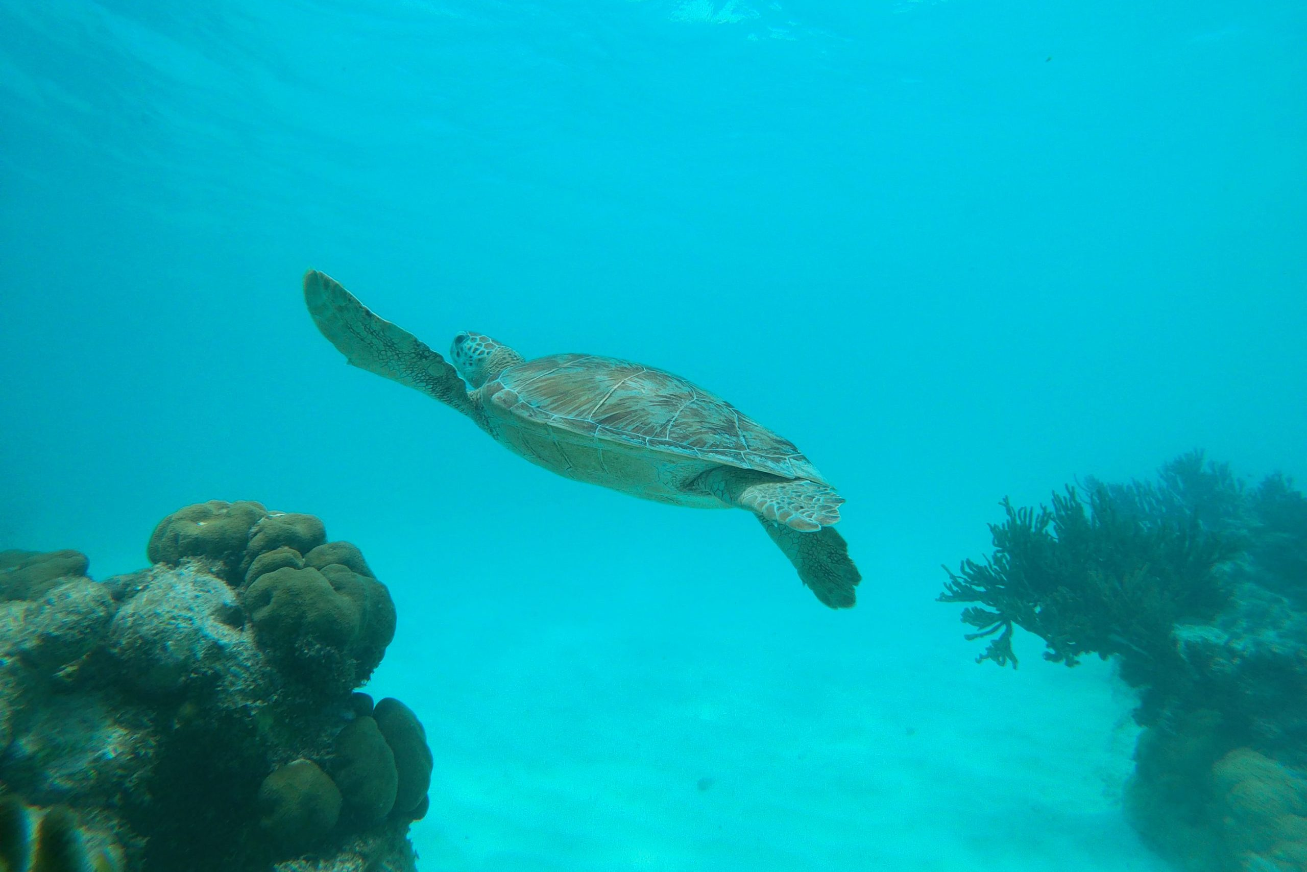 Turtle at Baby Beach