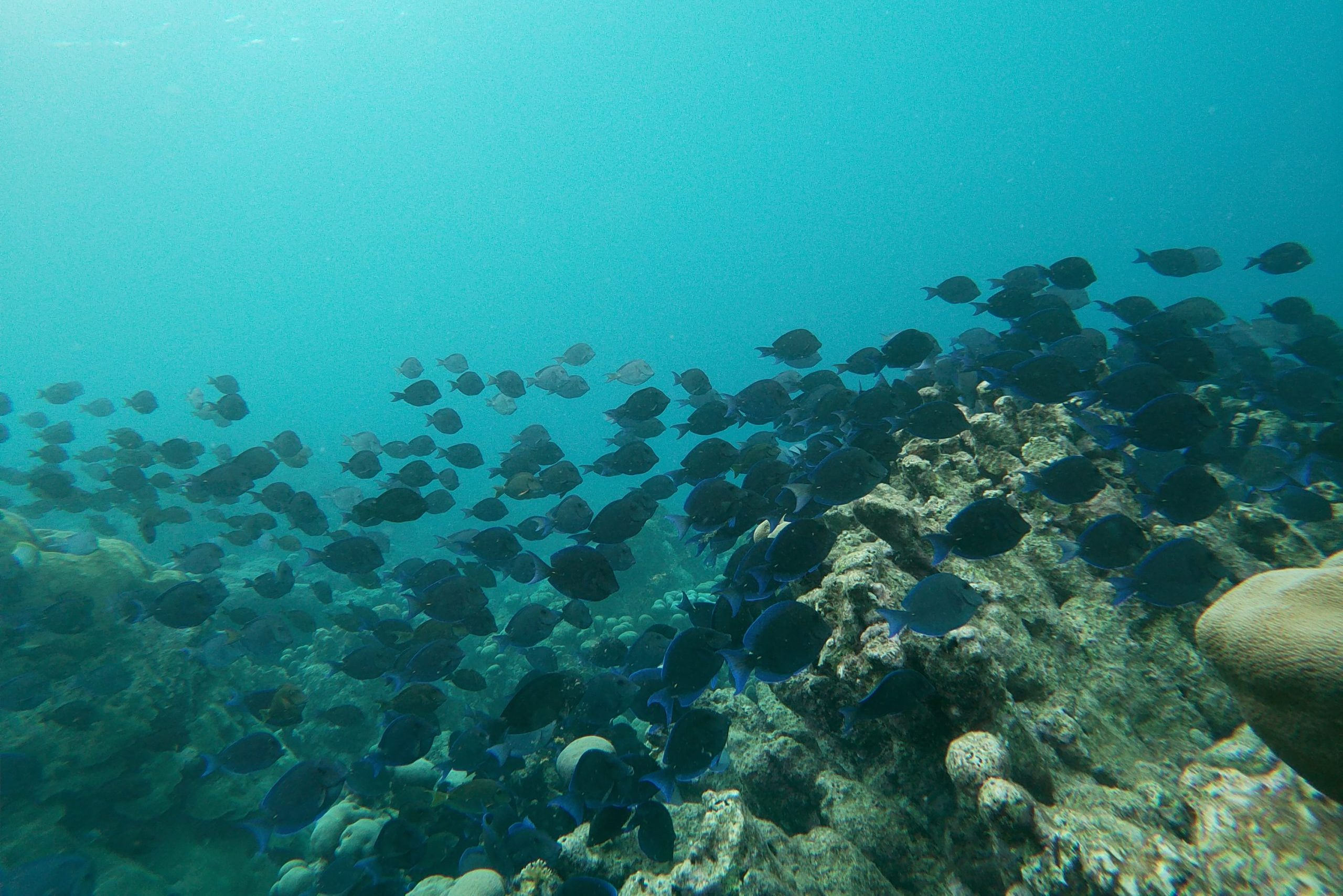 Blue tangs at Mangel Halto reef