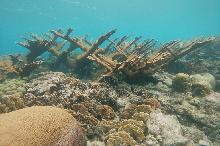 Dramatic Elkhorn coral at a coral reef near Mangel Halto