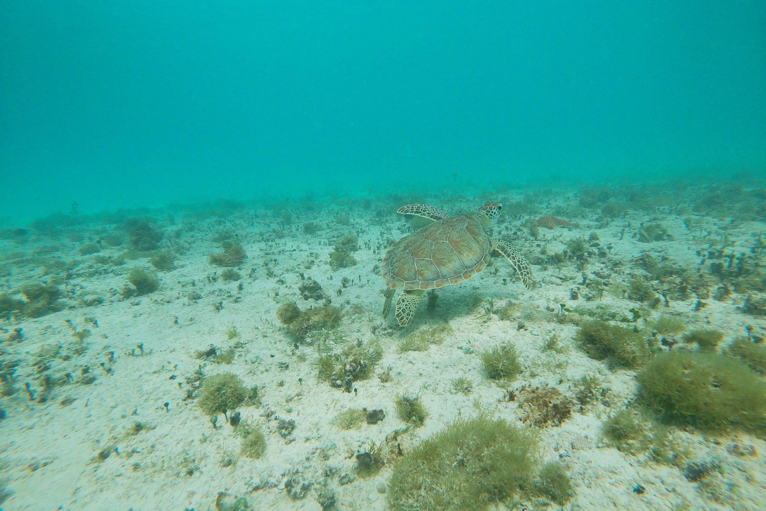 Sea turtle at Tres Trapi