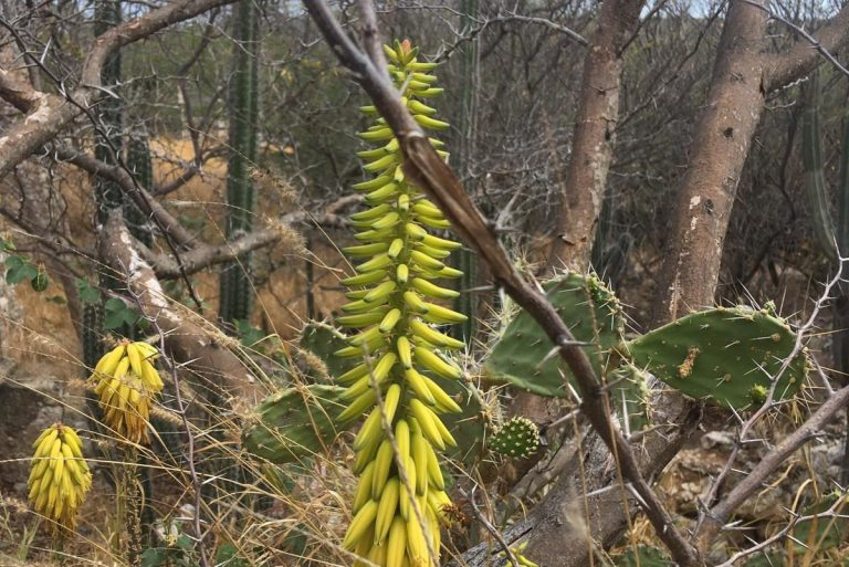 An Aruban Aloe Vera plant with flowers