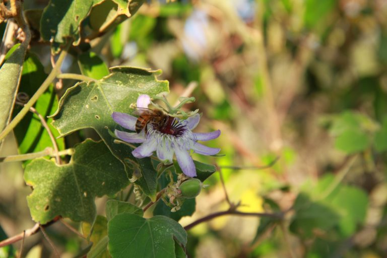 Bee on a passion flower at Jamanota