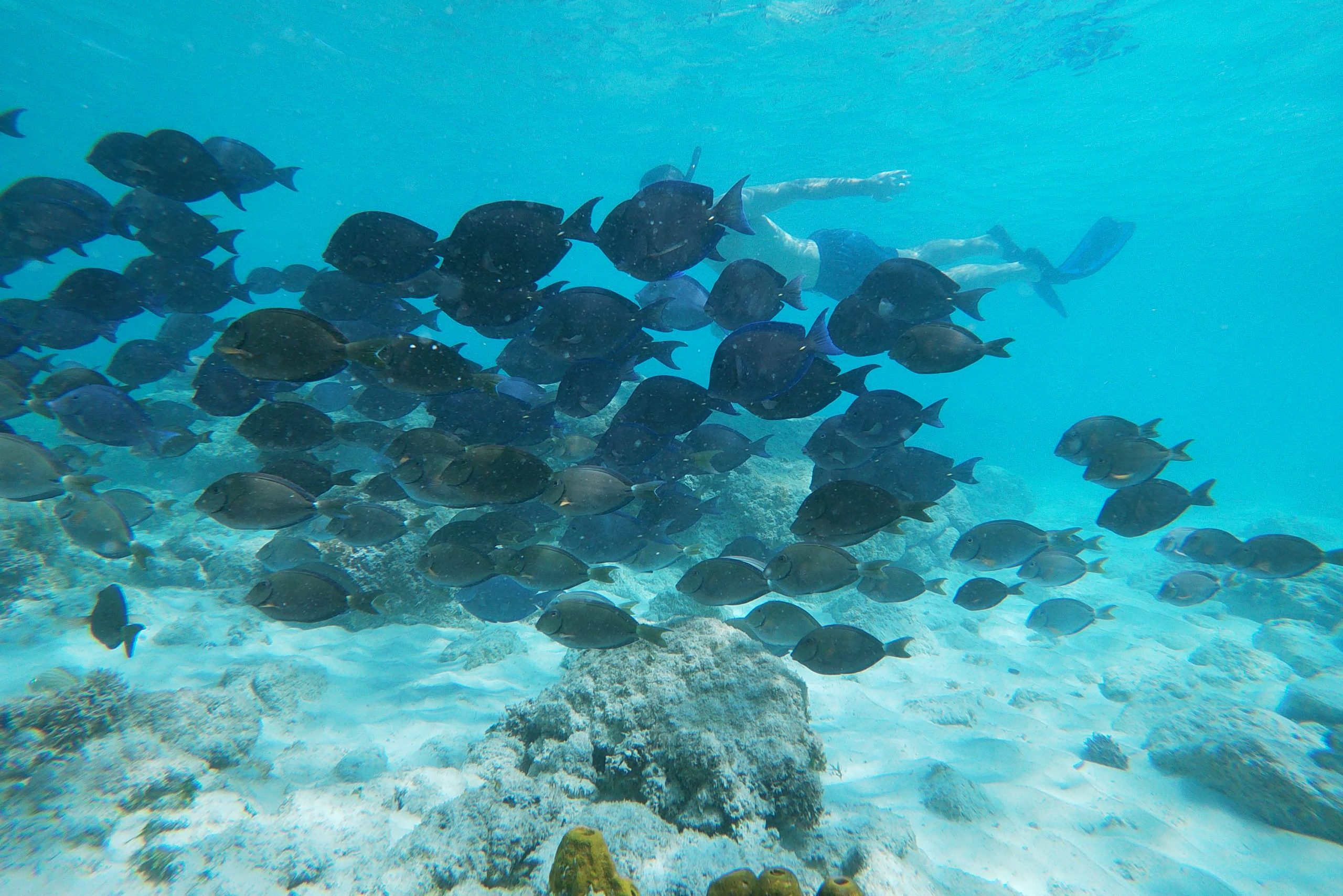 Snorkeling with Blue Tangs