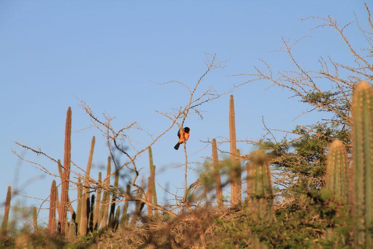 Trupial at Jamanota hill