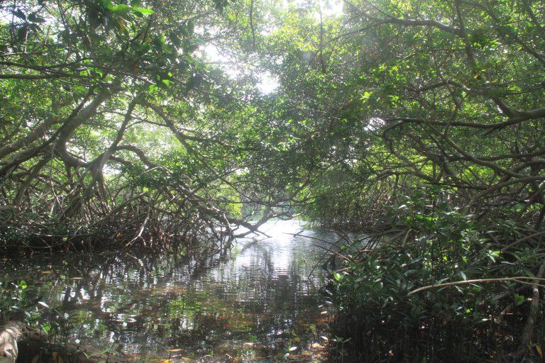 Mangrove Forest at Spanish Lagoon