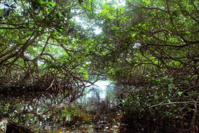 Hiking the Mangrove forest at Spanish Lagoon with Fins and Feet Nature Tours